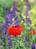 Wilde Blume der roten Mohnblume Lizenzfreie Stockfotos