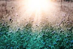 Wilde Blume der weißen Wiese an neuem backgr Natur des Morgensonnenaufgangs Stockfotos
