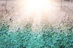 Wilde Blume der weißen Wiese an neuem backgr Natur des Morgensonnenaufgangs Stockbilder