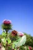 Wilde Blume des Distelunkrauts Stockfotografie