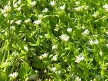 Wilde Blume des weißen Frühlinges Waldmit Tau Stockbild
