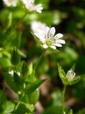 Wilde Blume des weißen Frühlinges Waldmit Tau Stockfoto