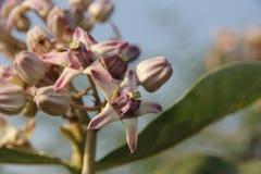 Wilde Blume fand in den tropischen Wäldern im Maharashtra Indien Lizenzfreie Stockbilder