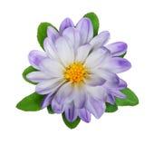 Wilde Blume hellblau auf einem weißen Hintergrund Lizenzfreie Stockfotografie
