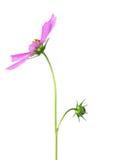 Wilde Blume hellpurpurn mit grünem Stamm auf einem weißen Hintergrund Lizenzfreies Stockbild
