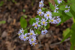 Wilde Blume im Wald Stockfoto