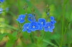 Wilde Blume mit den blauen Blumenblättern auf einem Stiel mit grünen Blättern lizenzfreie stockbilder