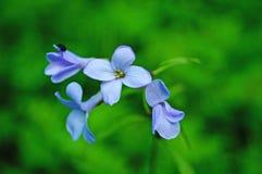 Wilde Blume mit den blauen Blumenblättern auf einem Stiel mit grünen Blättern lizenzfreies stockfoto