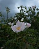 Wilde Blume lizenzfreies stockfoto