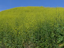 Wilde Blumen Aliso Viejo CA USA des Drachen-Hügels Stockfoto