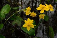 Wilde Blumen auf einem Hintergrund des Wassers färben Kugelblumen gelb Lizenzfreie Stockfotos