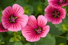 Wilde Blumen auf einem Sommertagmalva stockbild