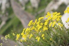 Wilde Blumen in Cappadocia Stockfoto