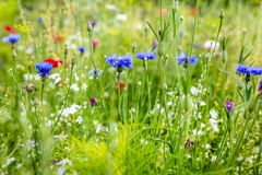 Wilde Blumen an der Blütezeit, an den Kornblumen, an den Mohnblumen und an den Kräutern stockfotos