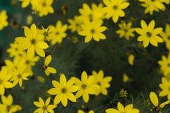 Wilde Blumen der gelben Kamille auf einem Feld Sonniger Tag Stockfotos