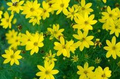 Wilde Blumen der gelben Kamille auf einem Feld Sonniger Tag Lizenzfreie Stockbilder