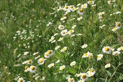 Wilde Blumen der Kamille Stockbild