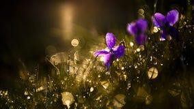 Wilde Blumen der purpurroten Viola im Sonnenuntergang Stockfotos