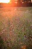 Wilde Blumen in der untergehenden Sonne Lizenzfreie Stockfotos