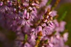Wilde Blumen der Waldblütenheide auf einem Sommermorgen Lizenzfreie Stockfotos
