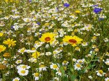 Wilde Blumen in der Wiese Lizenzfreies Stockfoto