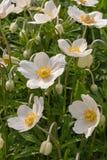 Wilde Blumen des Frühlinges - Buschwindröschen, Windflower Anemone nemorosa Lizenzfreie Stockbilder
