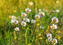 Wilde Blumen des Gänseblümchens Lizenzfreie Stockfotografie