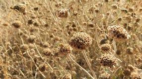 Wilde Blumen, die auf dem Gebiet, Kalamos-Insel, Griechenland trocknen lizenzfreie stockfotos