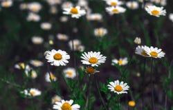Wilde Blumen, Gänseblümchen Sommerfeld camomiles stockfotos