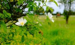 Wilde Blumen gesehen auf einer Koppel, mit einigem aus Fokuspferden im Hintergrund heraus Stockbilder