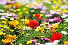 Wilde Blumen im Garten Stockfotografie