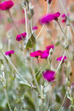 Wilde Blumen magentarot Stockfotos