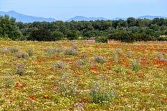 Wilde Blumen Mallorcan Lizenzfreies Stockbild
