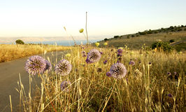 Wilde Blumen, Meer von Galiläa Nord-Israel Lizenzfreie Stockfotografie