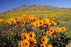 Wilde Blumen - Namaqualand, Südafrika Stockfotografie