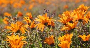 Wilde Blumen in Namaqualand, Südafrika Stockbild