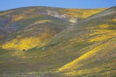 Wilde Blumen, Pferde und Hügel in Kalifornien Stockfotos