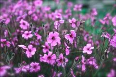 Wilde Blumen purpurrot Stockbild