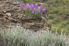 Wilde Blumen und Felsen Stockfoto