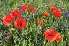 Wilde Blumen und rote poopies Lizenzfreie Stockfotografie