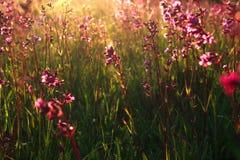 Wilde Blumen und Sonnenuntergangstrahlen stockbild
