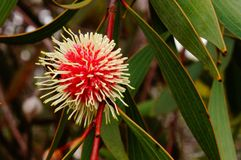 Wilde Blumen West-Australien Stockfotografie