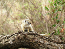 Wilde Boomeekhoorn, Zuid-Afrika stock afbeelding