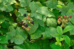 Wilde braambes in het bos Stock Fotografie