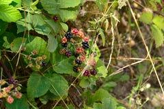 Wilde braambes in het bos Royalty-vrije Stock Foto's