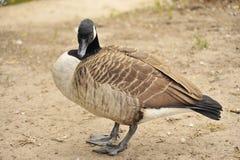 Wilde Brant-Vogelwasservögel lizenzfreies stockfoto