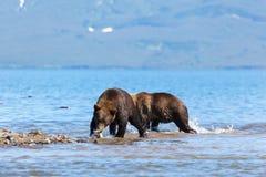 Wilde Braunbären grizzlyursus arctos, die auf Hintergrundsee fischen lizenzfreie stockfotos