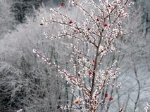 Wilde Briers in Frost Stockbild