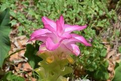 Wilde Bromelie mit dem Blütenwachsen Stockfoto