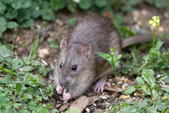 Wilde Brown-Ratte lizenzfreies stockbild